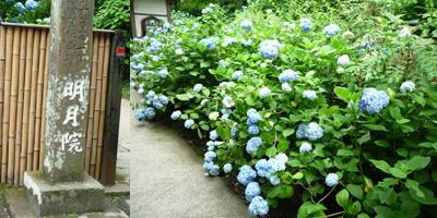 鎌倉,明月院,紫陽花